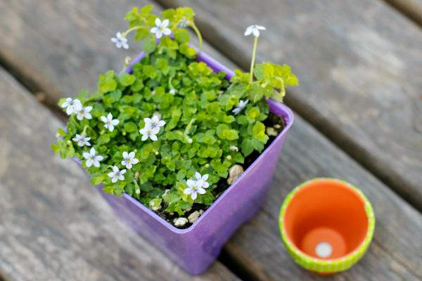 Blue Star Creeper Flowers for a Mini Flower Pot