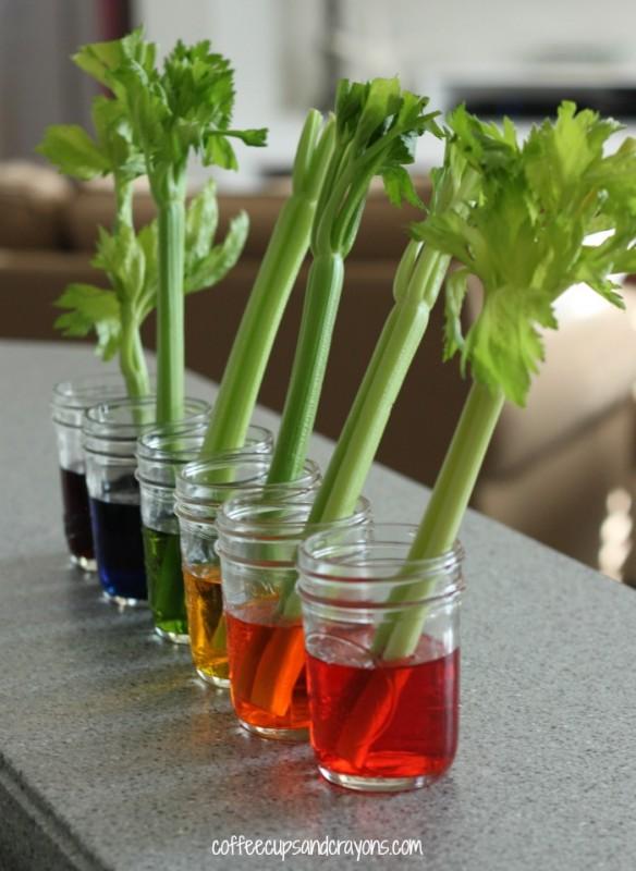 Celery-Transpiration-Experiment-for-Kids