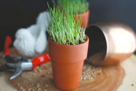 DIY How to Grow Wheatgrass