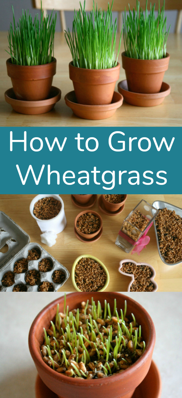 Grow Wheatgrass so easy and fun