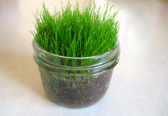 Growing Grass in a Glass Jar