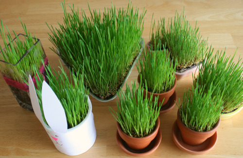 Growing-Wheatgrass-in-Spring-containers