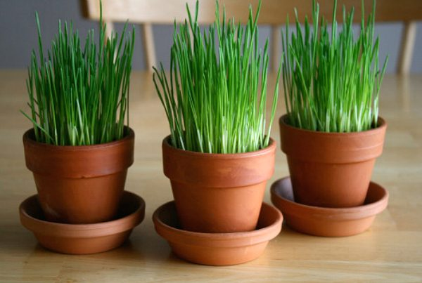 Growing Your Own Wheatgrass for Spring