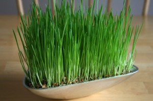 Growing grass for home decor display