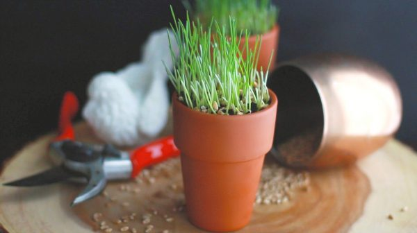How to Grow Wheatgrass DIY
