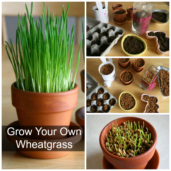 How to Grow Your Own Wheatgrass DIY