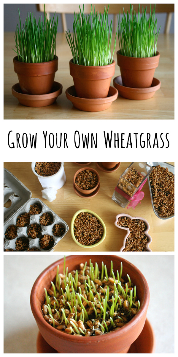 How to Grow Your Own Wheatgrass at Home