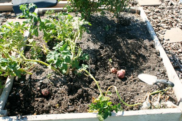 Potato Planting in a Garden
