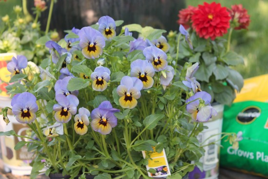 Purple Viola Plants