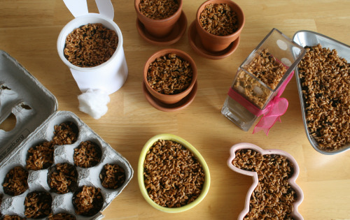 Wheatgrass-seeds-in-containers