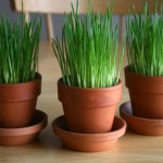 Grow Easter Wheatgrass