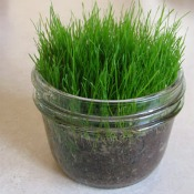 Growing Easter Grass